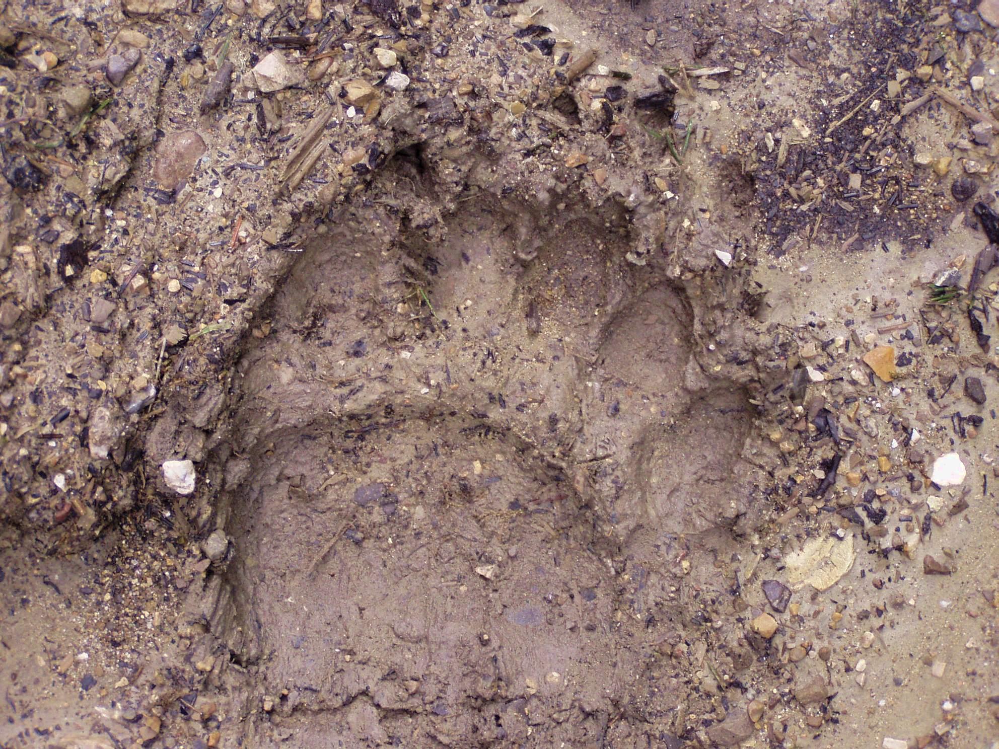 10_přední medvědí stopa, autor_Michal Šulgan