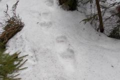 11_Medvědí stopy_12 hodin staré při 10°C, autor_Lukáš Jonák