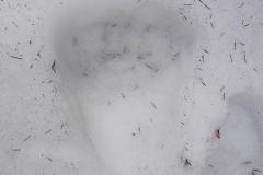 5_Medvědí stopa_12 hodin staré při 10°C, autor_Lukáš Jonák