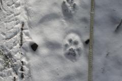 10_Čerstvé-stopy-rysa-ostrovida-v-poprašku-sněhu-autor_Barbora-Telnarová