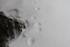 6_Čerstvá-stopní-dráha-rysa-ostrovida-na-novém-sněhu-autor_Barbora-Telnarová