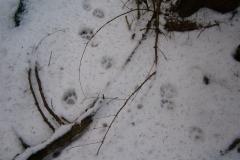 9_Čerstvé-stopy-rysa-ostrovida-v-mokrém-sněhu-autor_Barbora-Telnarová