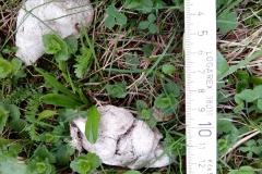 3_Starý, suchý trus rysa ostrovida, autor_Barbora Telnarová