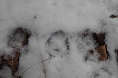 3_Stopa lišky obecné, autor_Lukáš Jonák