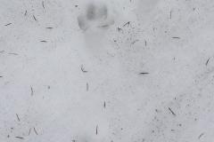 5_Stopy-lišky-obecné-autor_Barbora-Telnarová